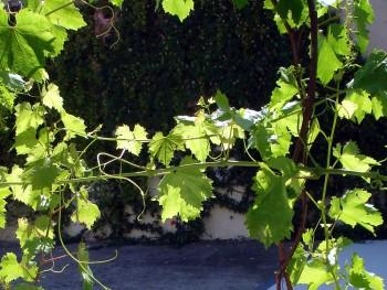 Jardin vignes chambres d'hotes montpellier